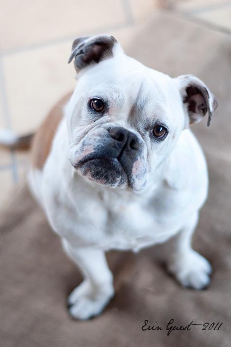 Bronagh, Australian Bulldog / Bosdog - Renlish.com